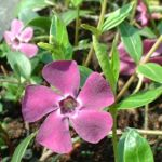 Kleines Immergruen lila Vinca minor 01