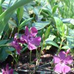 Kleines Immergruen lila Vinca minor 04