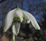 Kleines Schneegloeckchen Bluete weiss Galanthus nivalis 12