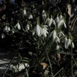 Kleines Schneegloeckchen Bluete weiss Galanthus nivalis 16