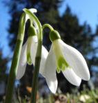 Kleines Schneegloeckchen Bluete weiss Galanthus nivalis 11