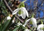 Kleines Schneegloeckchen Bluete weiss Galanthus nivalis 20