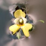 Kleines Springkraut Bluete blassgelb Impatiens parviflora 01
