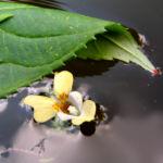 Kleines Springkraut Bluete blassgelb Impatiens parviflora 02