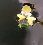 Kleines Springkraut Bluete blassgelb Impatiens parviflora 03