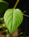 kleines springkraut bluete weiß gelb impatiens parviflora 04