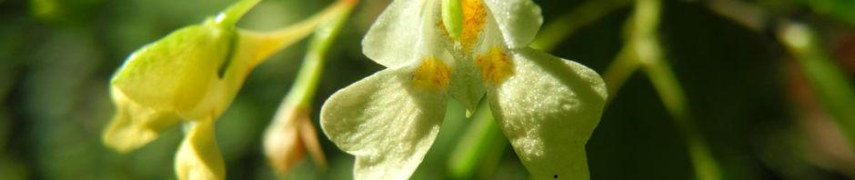 kleines-springkraut-bluete-weiss-gelb-impatiens-parviflora