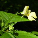 Bild:  Kleines Springkraut Blüte gelb Impatiens parviflora