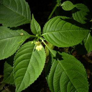 Kleines Springkraut Impatiens parviflora 05
