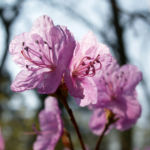 Kleinspitzige Alpenrose Rhododendron Bluete rosa Rhododendron mucronulatum 10