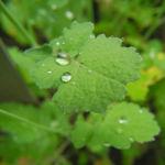 Kleinstrauchiger Kohl Blatt gruen Brassica fruticulosa 01