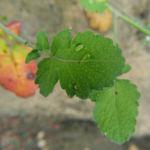 Kleinstrauchiger Kohl Blatt gruen Brassica fruticulosa 02
