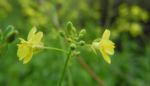 Kleinstrauchiger Kohl Bluete gelb Brassica fruticulosa 02