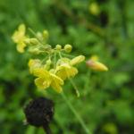Kleinstrauchiger Kohl Bluete gelb Brassica fruticulosa 03