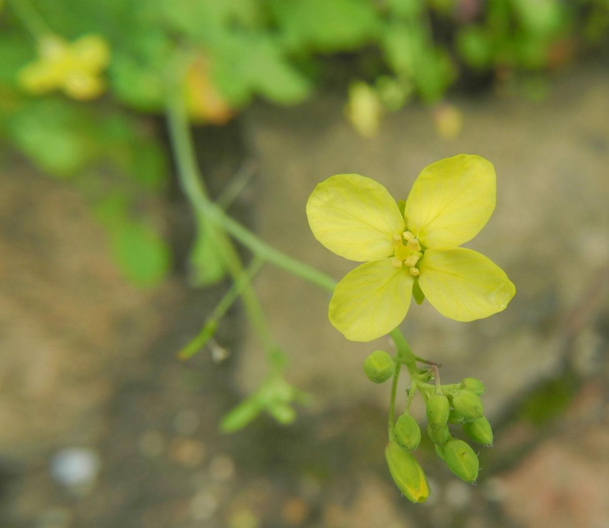 Kleinstrauchiger Kohl Bluete gelb Brassica fruticulosa