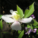 Klematis Gartenform Bluete weiss Clematis montana 02