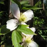 Klematis Gartenform Bluete weiss Clematis montana 03