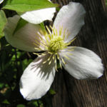 Klematis Gartenform Bluete weiss Clematis montana 04