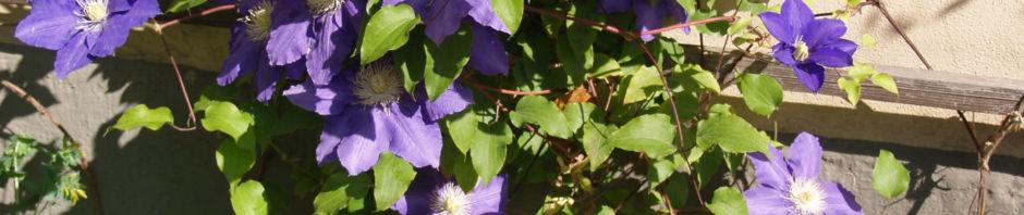 klematis-kultivar-bluete-blau-clematis-heracleifolia