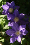 Klematis Kultivar Bluete gross blau 2 Clematis heracleifolia 07