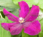 Klematis Kultivar Bluete gross purpur Clematis 03