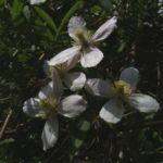 Klematis Clematis montana 01