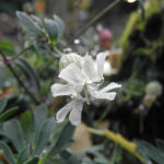 Klippen Leimkraut Bluete weiß Silene uniflora 01
