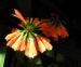 Zurück zum kompletten Bilderset Klivia Blüte orange Clivia nobilis