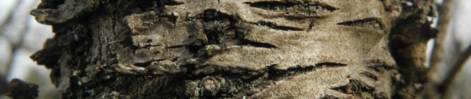 mandelbaum-bluete-weiss-prunus-dulcis