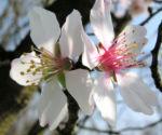 Knackmandel Baum Bluete weiss Prunus dulcis 01