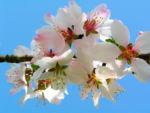 Knackmandel Baum Bluete weiss Prunus dulcis 03