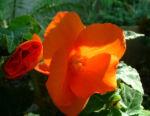 Knollen Begonie Bluete orange Begonia tuberhybrida 02