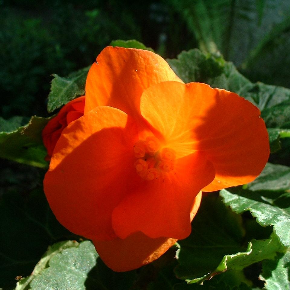 Knollen Begonie Bluete orange Begonia tuberhybrida