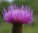 Bild:  Knollen Kratzdistel Blüte pink Cirsium tuberosum