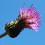 Knollen Kratzdistel Bluete pink Cirsium tuberosum 15