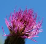 Knollen Kratzdistel Bluete pink Cirsium tuberosum 17