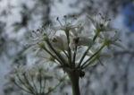 Knollen Lauch Bluete weiss Allium tuberosum 03 1