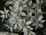 Knollen Lauch Bluete weiss Allium tuberosum 06