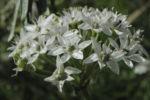 Knollen Lauch Bluete weiss Allium tuberosum 07