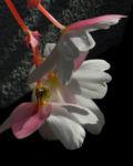 Knollenbegonie Bluete weiss pink Begonia × tuberhybrida 05
