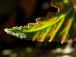 Knollenbegonien Blatt grün Begonia × tuberhybrida  02