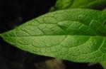 Knoten Beinwell Blatt gruen Symphytum tuberosum 02