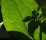 Knoten Beinwell Blatt gruen Symphytum tuberosum 03