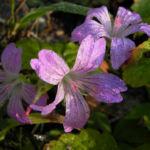 Knotiger Storchschnabel Bluete pink Geranium nodosum 01