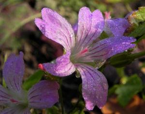 Knotiger Storchschnabel Bluete pink Geranium nodosum 02