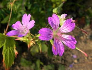 Knoten-Storchschnabel Knotiger Storchschnabel Blüte pink Geranium nodosum