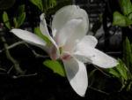 Kobus Magnolie Bluete weiss Magnolia kobus 06