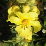 Koenigs Kerze Bluete gelb Verbascum densiflorum 04