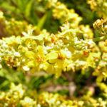 Koenigskerze Bluete gelb Verbascum lychnitis 01