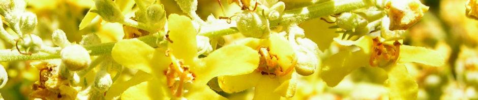 mehlige-koenigskerze-bluete-gelb-verbascum-lychnitis